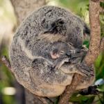 Coalas estão funcionalmente extintos, diz fundação australiana