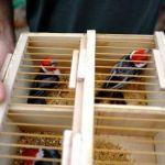 FPI flagra venda irregular de aves silvestres em Arapiraca
