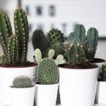 Cactos dentro de casa: veja ideias para decorar com a espécie