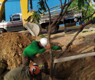 Transplantio de árvores: técnica preserva espécies no agreste alagoano