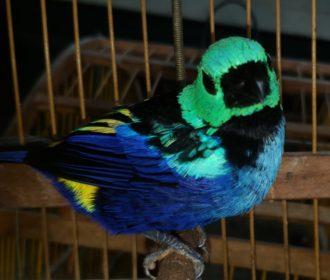 Operação do ICMBio resgata 290 aves silvestres em 7 cidades de Alagoas