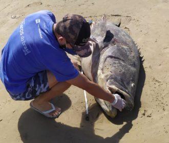 Peixe em extinção de mais de 200 kg encalha em Pontal do Peba